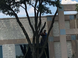 Arborist removing a tree limb that is close to building in fort worth texas